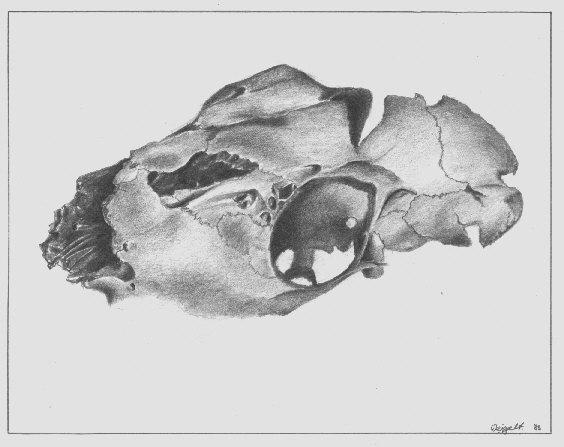 Bruchstück eines Tierschädels (Bleistiftzeichnung)